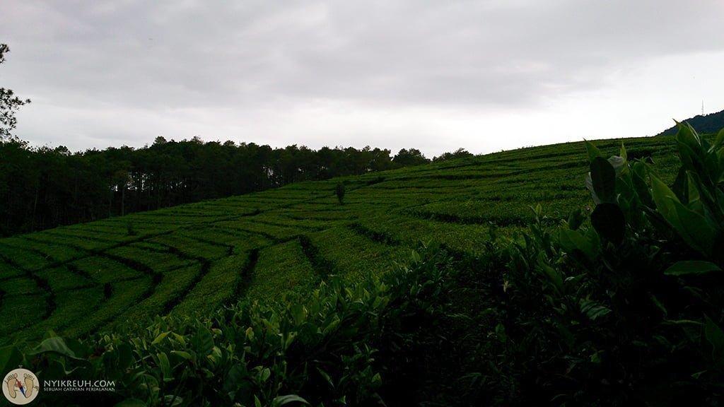 Kebun teh sekitar CIC