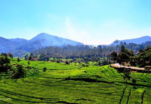 Pemandangan perkebunan teh rancabali