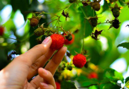 Memetik buah Arben