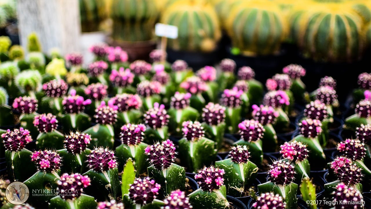 Kaktus merah muda merona