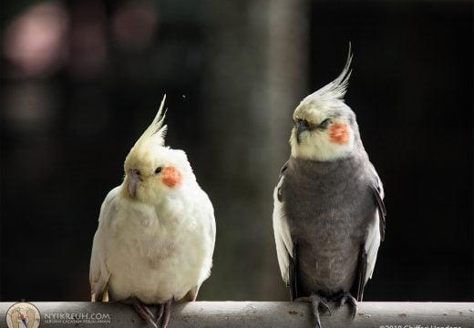 Salah satu burung favorit kita di Bird & Bromelia Pavilion, yaitu Cockatiel alias Falk