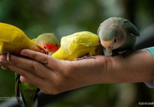 Ngasih makan burung Lovebird