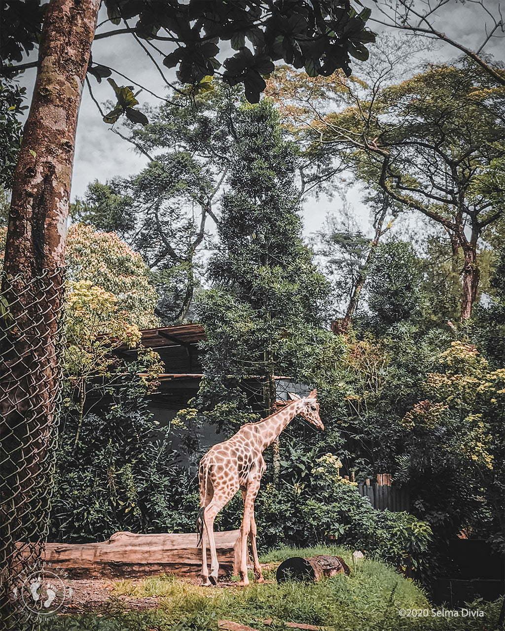 Jerapah di Taman Safari Bogor