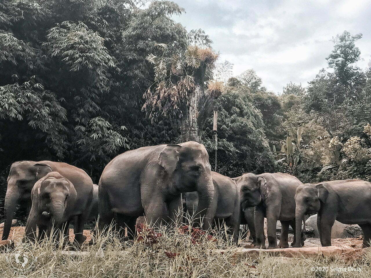 Kawanan gajah sedang berkumpul