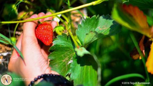 Memetik buah Stroberi