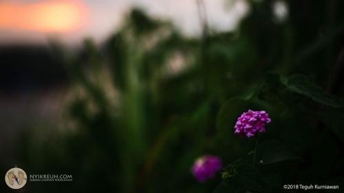 bunga sunset